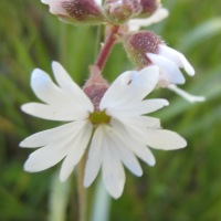 Small-flowered Prairie Star (Lithophragma parviflora)