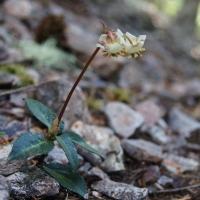 Little Pipsissewa aka Little Prince's Pine (Chimaphila menziesii)