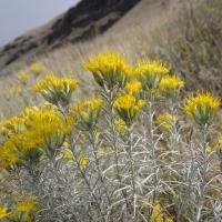 Gray rabbitbrush (Ericameria nauseosa)